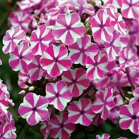 Phlox Candy Twist.jpg