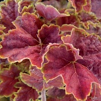 Heuchera Miracle.jpg