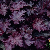 Heuchera Palace Purple.jpg