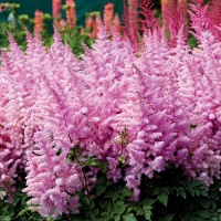 Astilbe Ice Cream.jpg