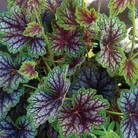 Heuchera Beauty Colour.jpg