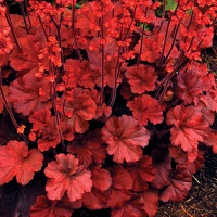 Heuchera Cherry Cola.jpg
