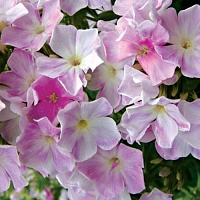 Phlox Cool Water.jpg