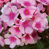 Phlox Brilliant Eye.jpg