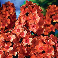 Phlox Orange Perfection.jpg